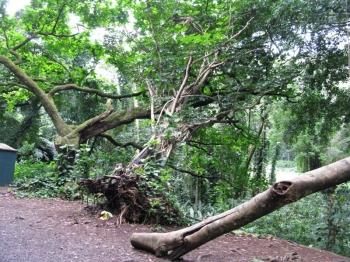 マノアの滝倒れる木