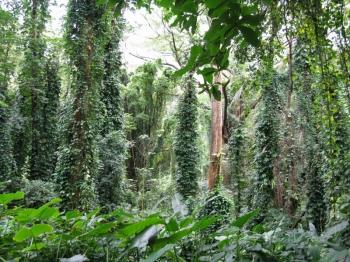 マノアの滝ジャングル