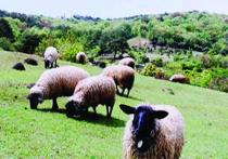 フォレストパーク陣の山/羊