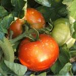 農悠舎 トマト作り