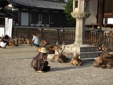 奈良公園 興福寺 鹿 08年8月
