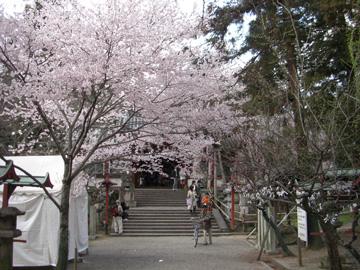 氷室神社 しだれ桜