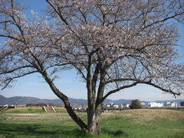 桜/平城宮跡 2009年