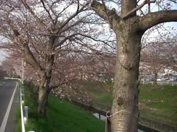 桜/佐保川 2009年