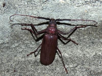 コゲチャトゲフチオオウスバカミキリ