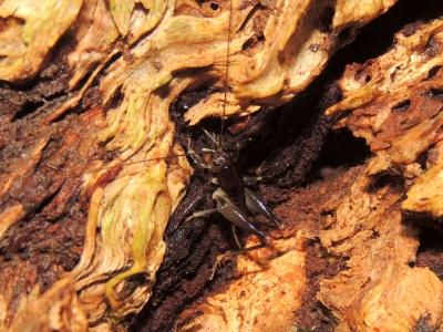 ヤクシマクロギリス幼虫