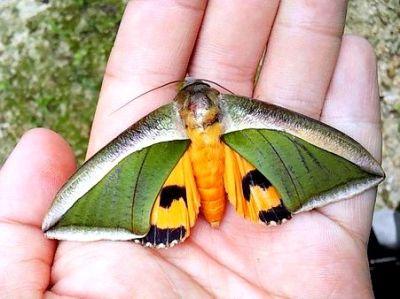 キマエコノハ
