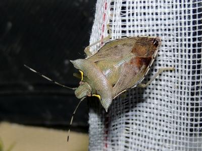 イワサキオオトゲカメムシ