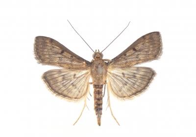 ケナシクロオビクロノメイガ