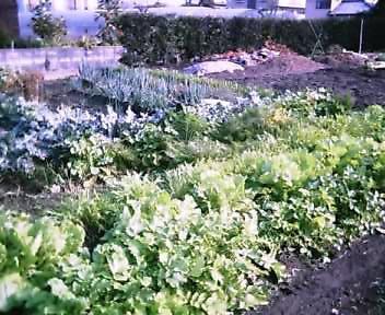 我が家の菜園ー4