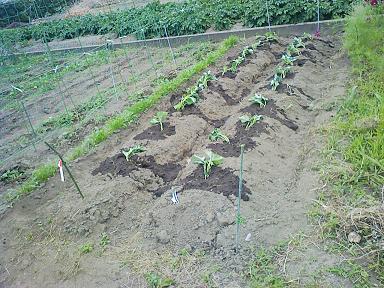 薩摩芋の定植