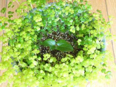 クレマチスの新芽 2