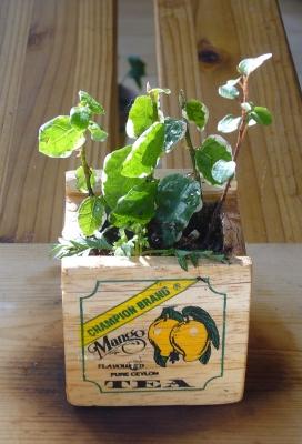 寄せ植 紅茶木箱