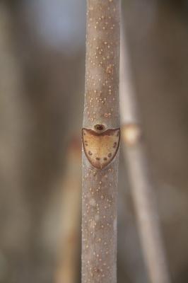 葉痕トチノキ