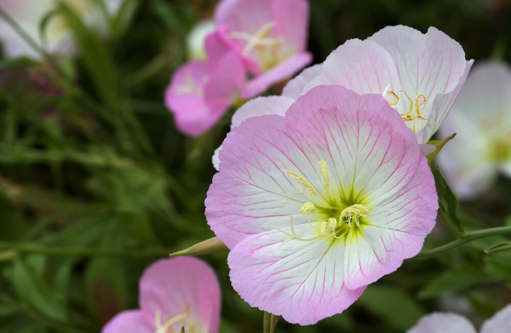 Evening-primrose.jpg