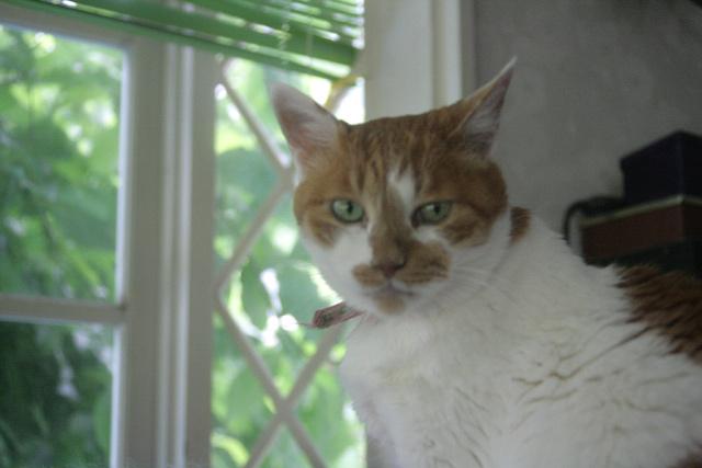 八ヶ岳の猫:カノン