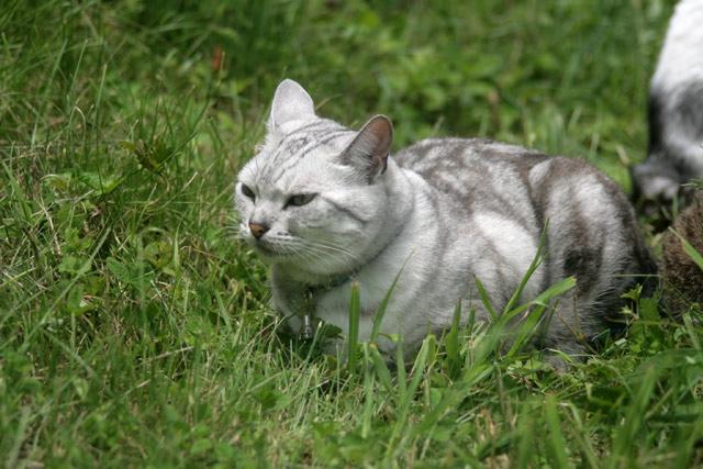 八ヶ岳の猫・メヌエット1