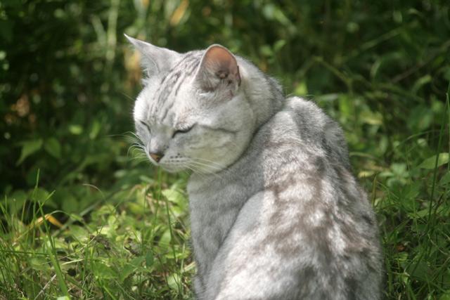 八ヶ岳の猫・メヌエット2