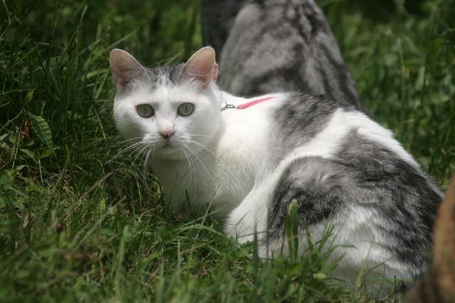 八ヶ岳の猫サラ1