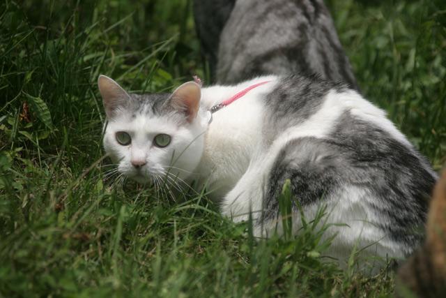 八ヶ岳の猫サラ2