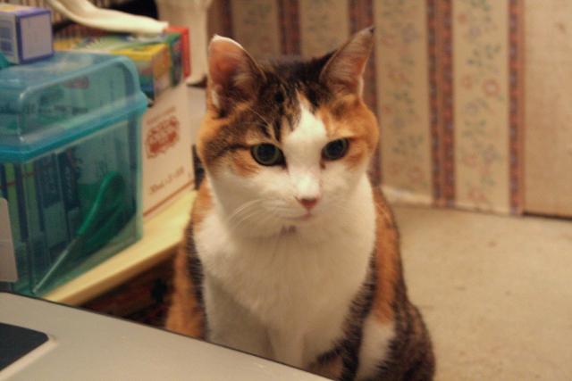愛猫フーガ