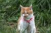 猫:カノン