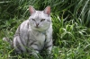 猫:メヌエット