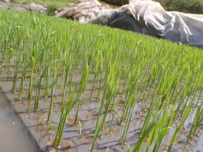 ワラ堆肥の苗