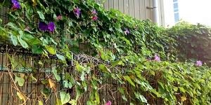 10月に咲く朝顔(アサガオ)はまだまだ元気!いや、昼顔(ヒルガオ)かな?