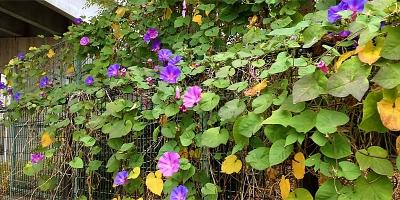 10月に咲く朝顔(アサガオ)は11月も元気!
