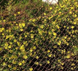 どこからかやってきた種が根付いて毎年季節を彩る高架下の菜の花