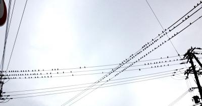 夕暮れ時の曇り空、電線にとまるムクドリの群れ その2