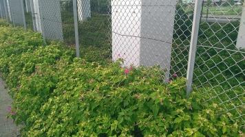 菜の花に取って代わって群生するオシロイバナ1