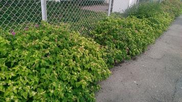 菜の花に取って代わって群生するオシロイバナ2