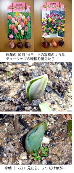 チューリップの芽が出た
