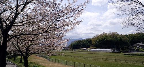 桜と和タンポポ02