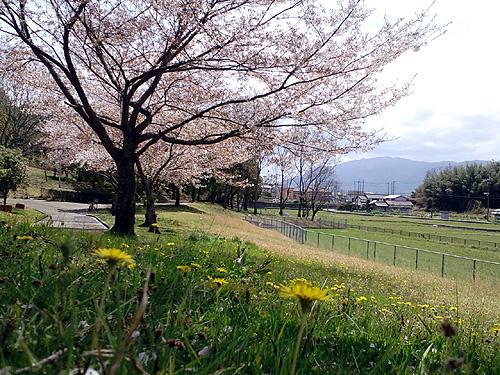 桜と和タンポポ03