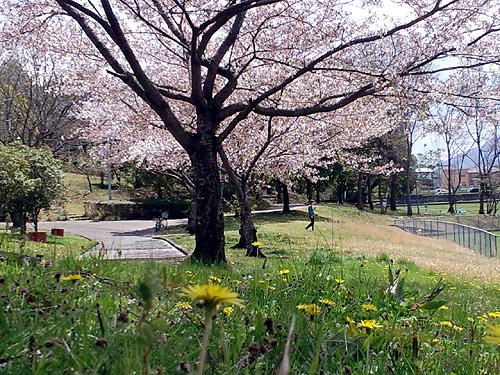 桜と和タンポポ04
