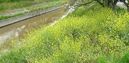 高田川沿いを走る_菜の花