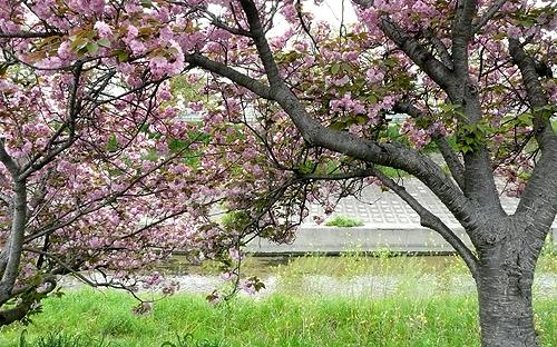 高田川沿いを走る_ボタン桜01