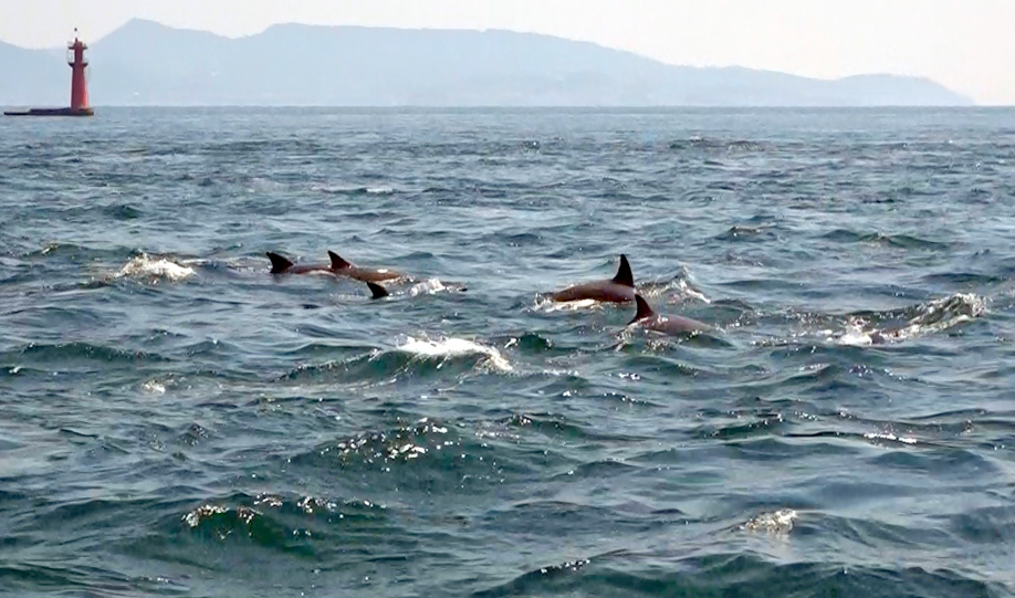 沿岸部を泳ぐミナミバンドーイルカ