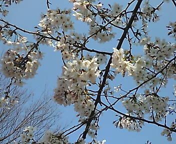 元住吉の桜