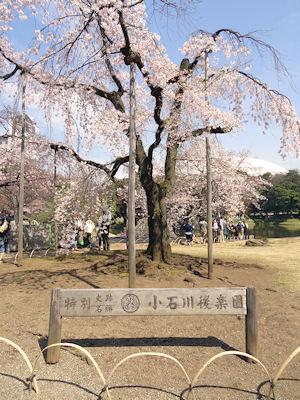 小石川後楽園 桜 01
