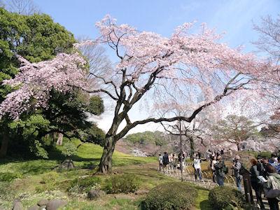 小石川後楽園 桜 03