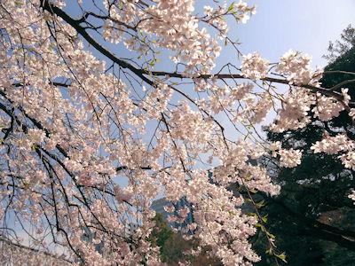 小石川後楽園 桜 04
