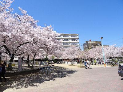 日本の桜 02