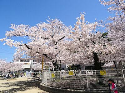 日本の桜 03