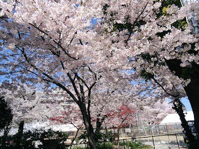日本の桜 04