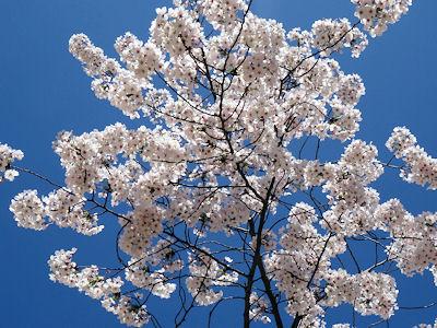 日本の桜 06