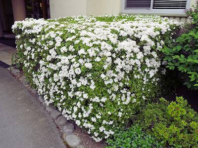 カナダ春の花 05